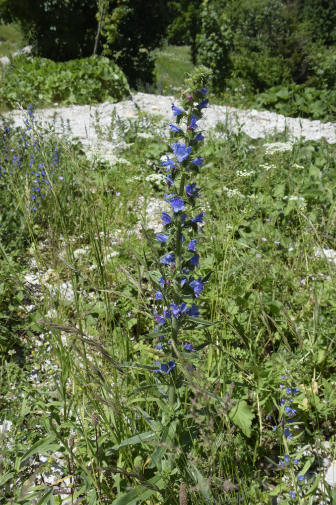 Oft trifft man Sammler von Blumen und Kräutern, die daraus Bergtee machen - unglaublich gut! (Foto: balkanblogger)